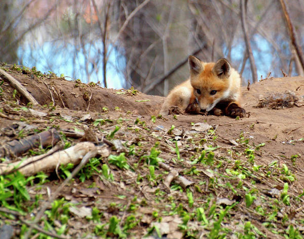 Photograph - Kit Fox With Chew Toy by Thomas Young