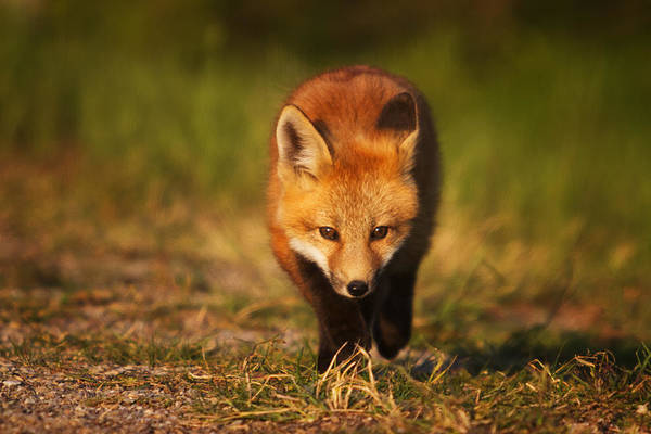 Wall Art - Photograph - Kit On The Prowl by Mark Kiver