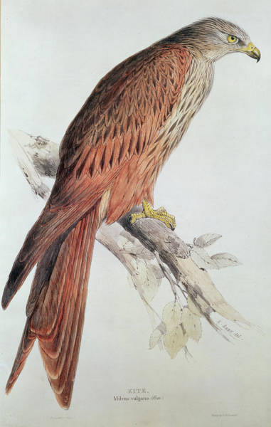 Audubon Painting - Kite by Edward Lear
