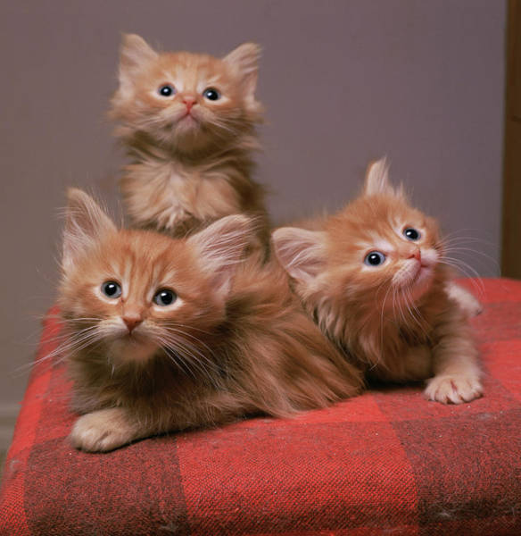 Felis Silvestris Photograph - Kittens by Bjorn Svensson/science Photo Library