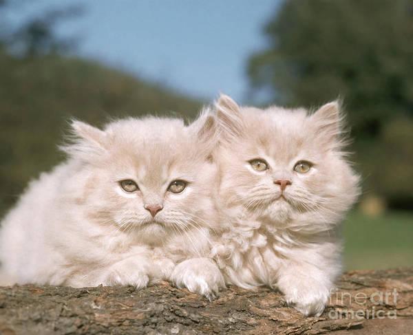 Photograph - Kittens by Hans Reinhard