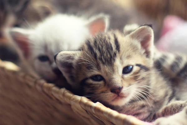 Wall Art - Photograph - Kittens In A Basket by Amy Tyler