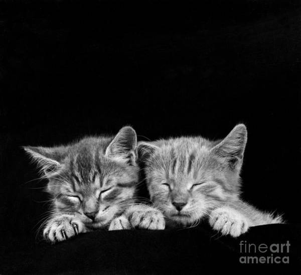 Photograph - Kittens by Rapho Agence