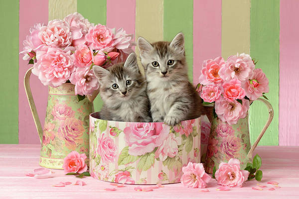 Wall Art - Painting - Kittens Sitting In Tin by MGL Meiklejohn Graphics Licensing