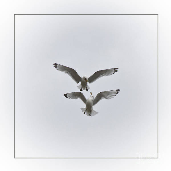 Photograph - Kittiwakes Dancing In The Air by Heiko Koehrer-Wagner