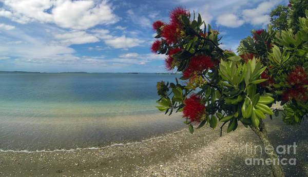 Pohutukawa Photograph - Kiwi Christmas by Gee Lyon