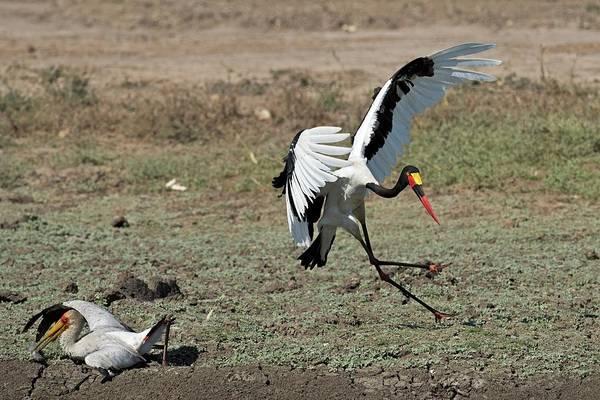 Behaviour Photograph - Kleptoparasitism Amongst Storks by Tony Camacho