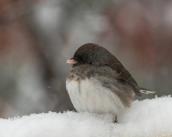 Dark Eyed Junco Photograph - Knee Deep In Snow by Lara Ellis