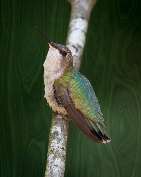 Photograph - Knock On Wood For A Pretty Hummer by Robert L Jackson