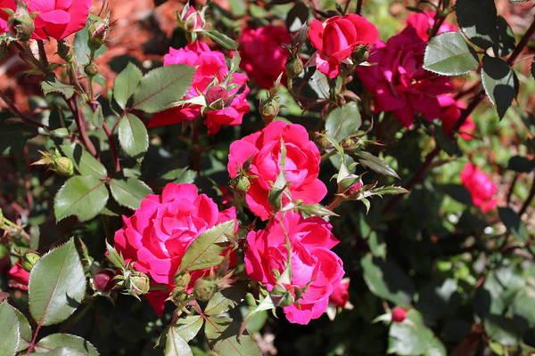 Photograph - Knockout Roses by John Mathews