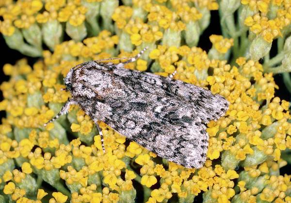 Knot Photograph - Knot Grass Moth (acronicta Rumicis) by Tony Wood/science Photo Library