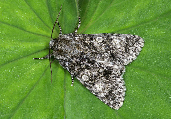 Entomology Photograph - Knot Grass Moth by Nigel Downer