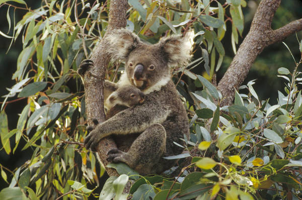 Photograph - Koala And Joey In Eucalyptus Australia by Gerry Ellis