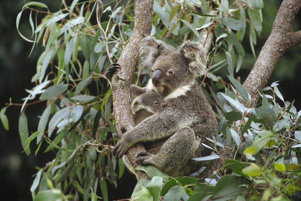 Photograph - Koala And Old Joey Resting Australia by Gerry Ellis