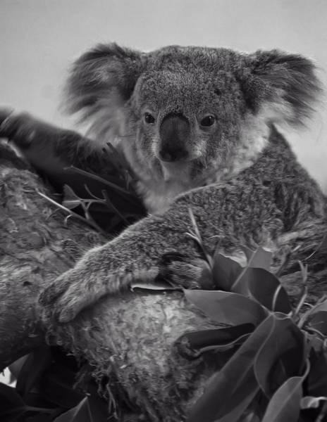 Digital Art - Koala by Chris Flees