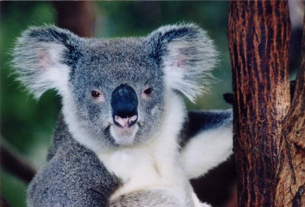 Photograph - Koala Full Face by David Rich