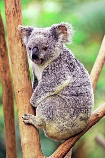 Australian Wildlife Wall Art - Photograph - Koala In A Tree by Bildagentur-online/mcphoto-schulz