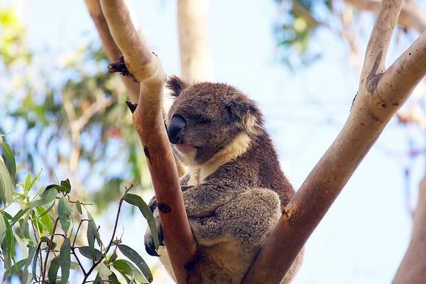 Photograph - Koala In The Wild #2 by Stuart Litoff