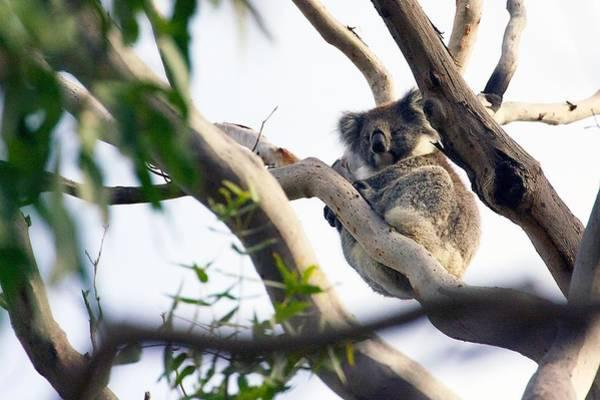 Photograph - Koala In The Wild by Stuart Litoff