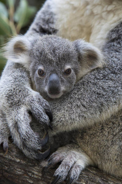 Photograph - Koala Joey In Mothers Arms Australia by Suzi Eszterhas