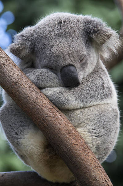 Photograph - Koala Male Sleeping Australia by Suzi Eszterhas