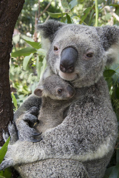 Photograph - Koala Mother Cuddling Her Joey Australia by Suzi Eszterhas