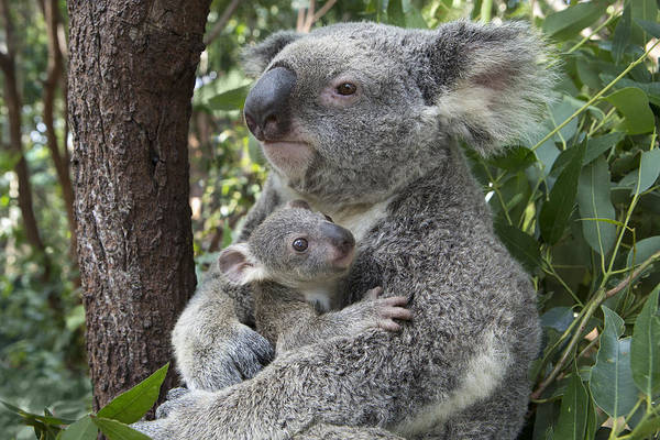 Photograph - Koala Mother Cuddling  Joey Australia by Suzi Eszterhas