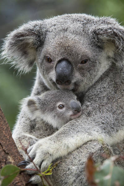 Photograph - Koala Mother Holding Joey Australia by Suzi Eszterhas