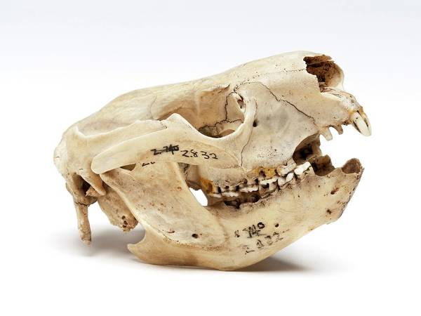 Preservation Photograph - Koala Skull by Ucl, Grant Museum Of Zoology