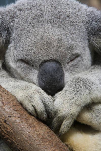 Photograph - Koala Sleeping Australia by Suzi Eszterhas