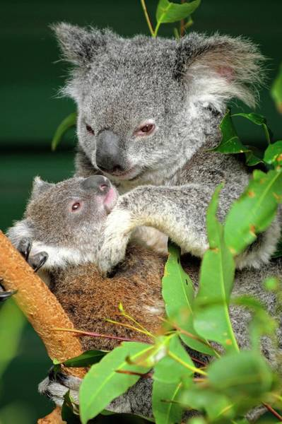 Australian Wildlife Wall Art - Photograph - Koalas by Bildagentur-online/mcphoto-schulz