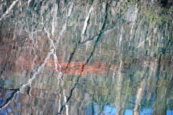 John Schneider Wall Art - Photograph - Koi Among The Birch by John Schneider