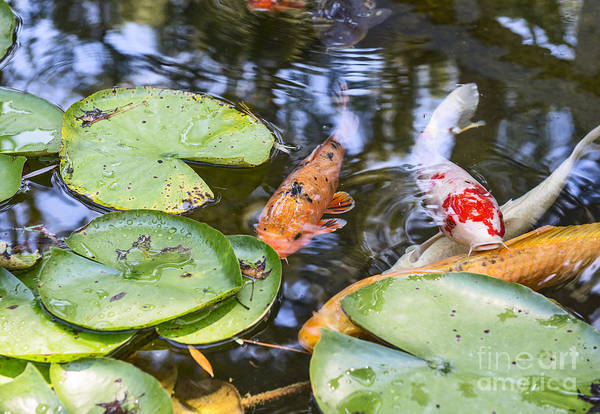 Fish Pond Photograph - Koi And Lily Pad by Jamie Pham