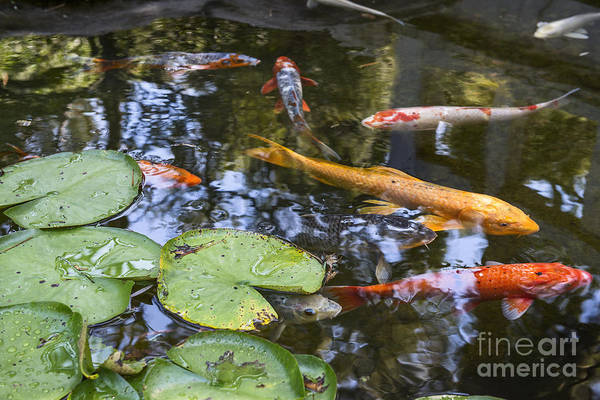 Carp Photograph - Koi And Lily Pads - Beautiful Koi Fish And Lily Pads In A Garden. by Jamie Pham