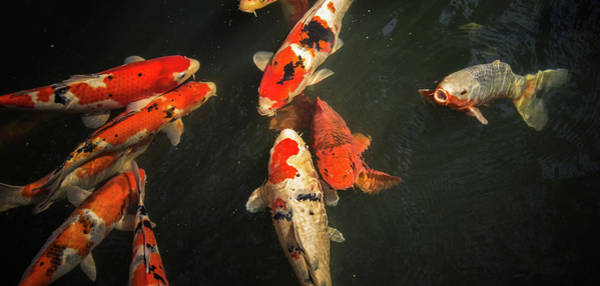 Carp Photograph - Koi At Asakusa Shrine by Lars Bauer.
