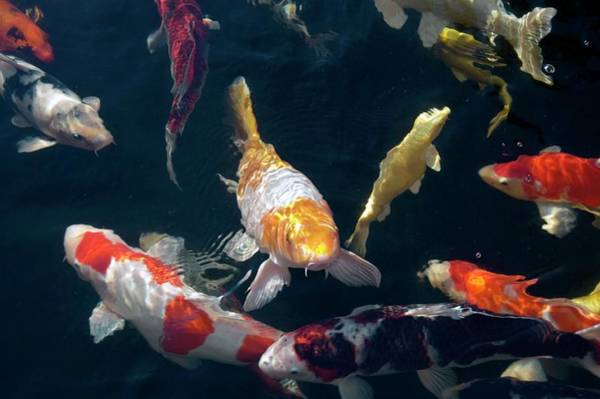 Fish Pond Photograph - Koi Carp by Dr P. Marazzi/science Photo Library