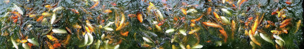 Koi Pond Photograph - Koi Carp Swimming In A Pond by Animal Images
