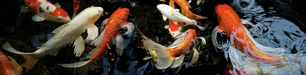 Wall Art - Photograph - Koi Carp Swimming Underwater by Animal Images