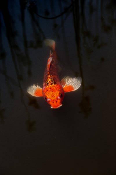 Koi Photograph - Koi Coming by Rebecca Cozart