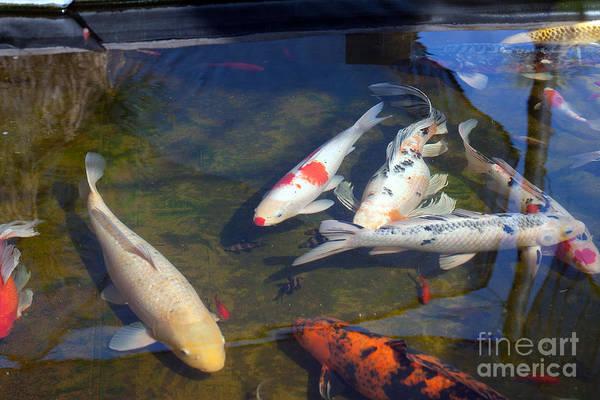 Photograph - Koi Fish In Pond by Gunter Nezhoda