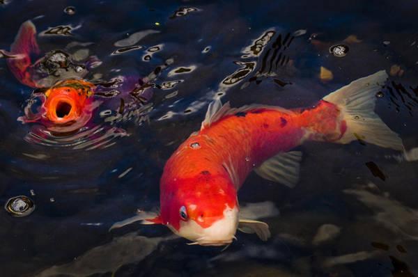 Ornamental Fish Photograph - Koi Gulp by Jean Noren
