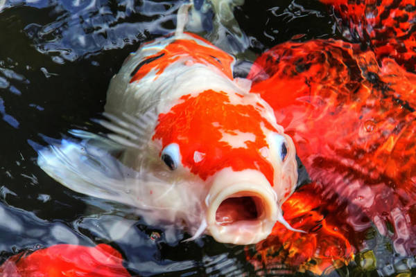 Ornamental Fish Photograph - Koi Kisses by HH Photography of Florida