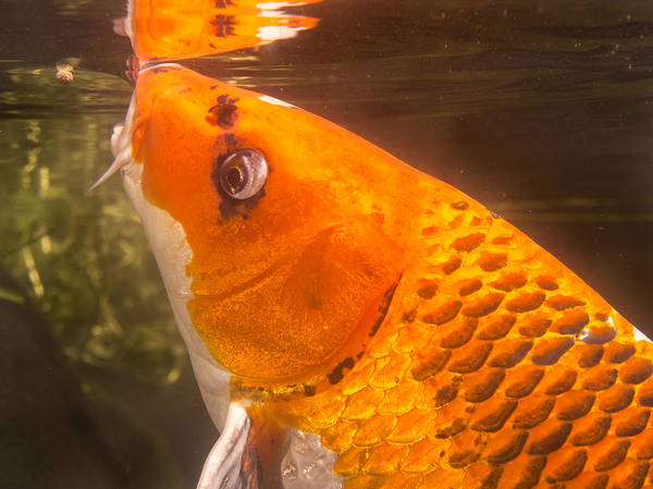 Ornamental Fish Photograph - Koi Sipping At Surface by Jean Noren