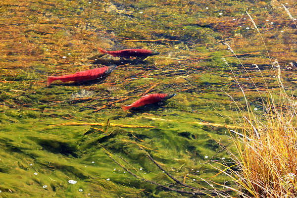 Wall Art - Photograph - Kokanee Salmon by Johnny Adolphson