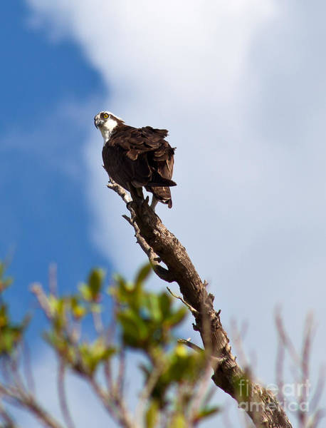Photograph - Koko The Osprey by Michelle Constantine