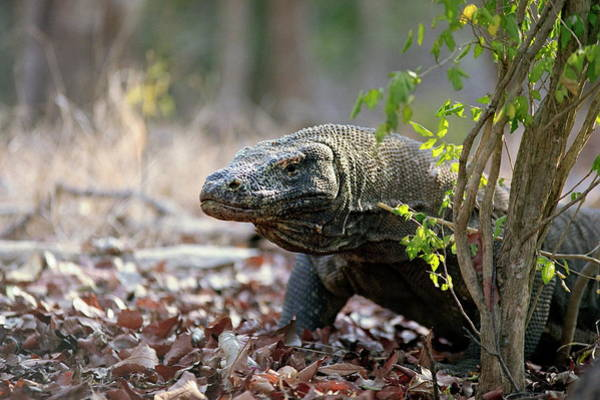 Wall Art - Photograph - Komodo Dragon by Zephyr/science Photo Library