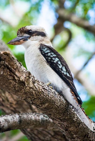 Kookaburra  Art Print