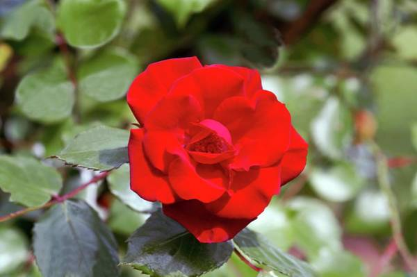 Rose In Bloom Photograph - Kordesii Climbing Rose (park Director Riggers) by Brian Gadsby/science Photo Library