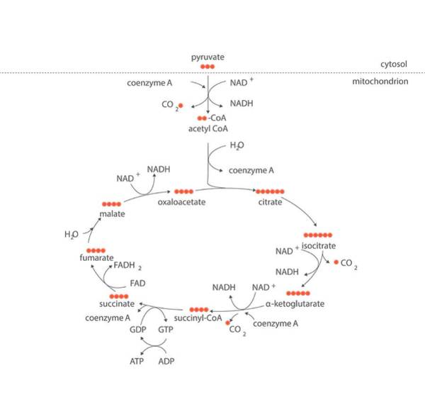 Adenosine Triphosphate Wall Art - Photograph - Krebs Metabolic Cycle by Science Photo Library