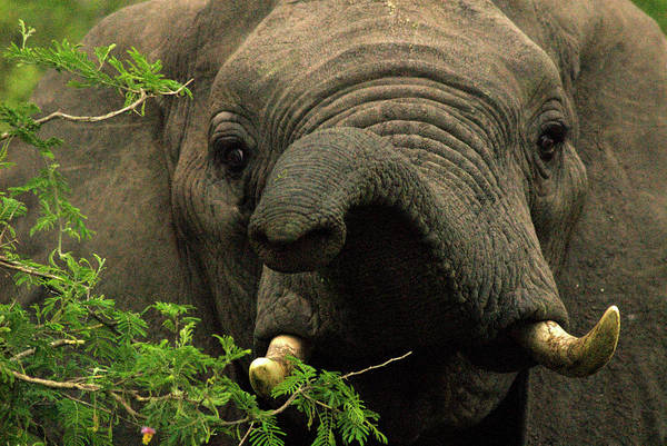 African Elephant Photograph - Kruger National Park, Sa - November 29 by Dan Rafla